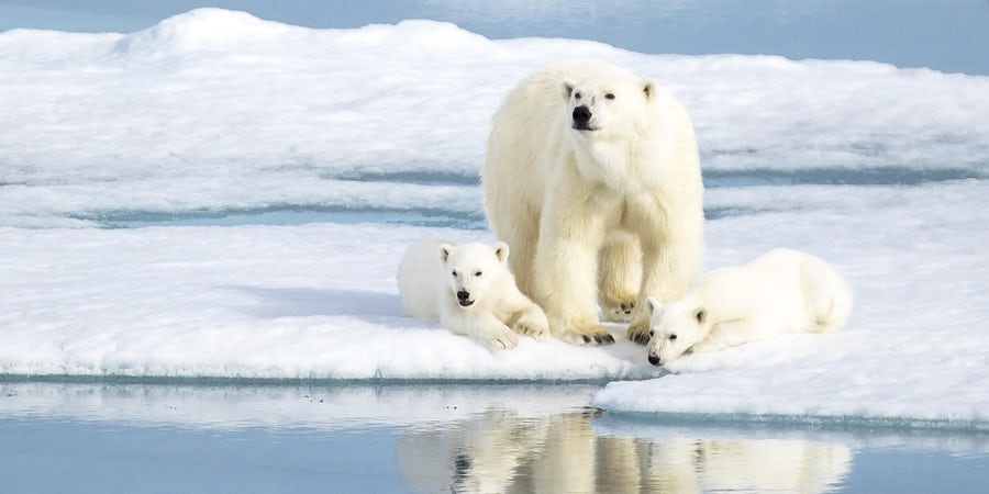 Polar Bear Cruises: Best Arctic Sailings for Polar Bear Spotting