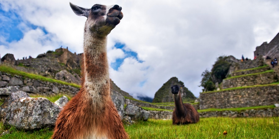 Llamas at Machu Picchu (Photo: Gleb Aitov/Shutterstock)
