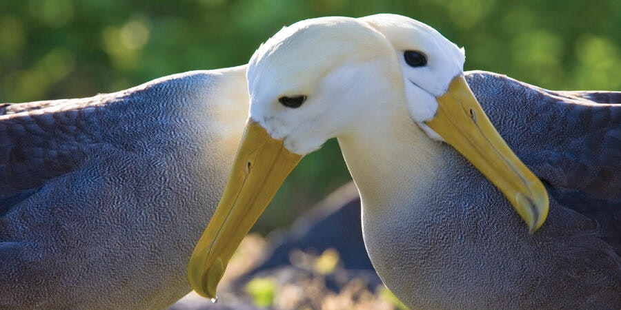 Waved Albatrosses (Photo: Lindblad Expeditions)
