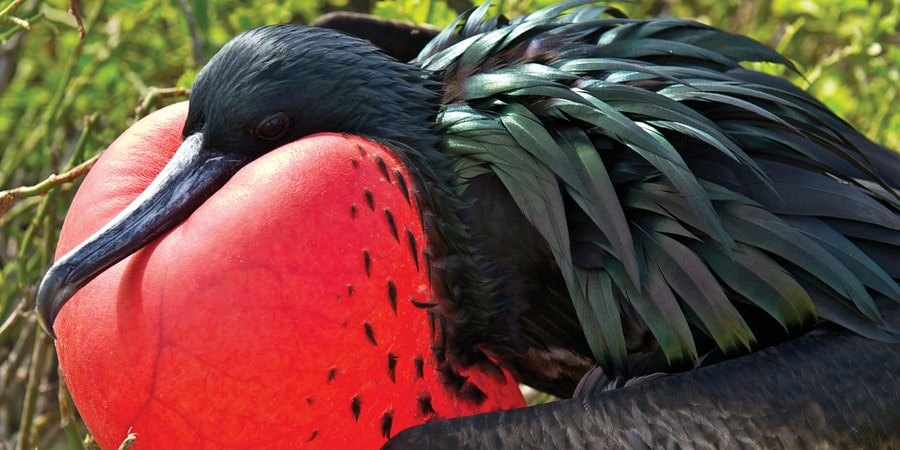 Frigatebird in the Galapagos (Photo: Lindblad Expeditions)
