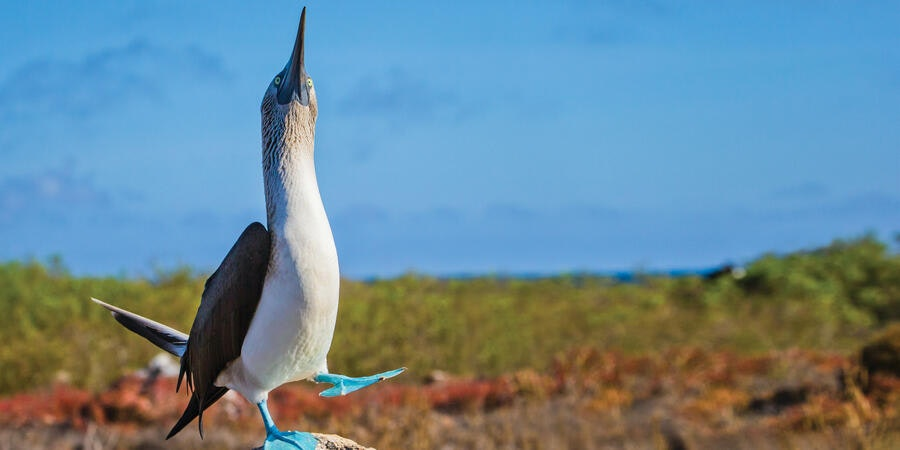 Blue-footed Booby on North Sermour Island (Photo: Lindblad Expeditions)
