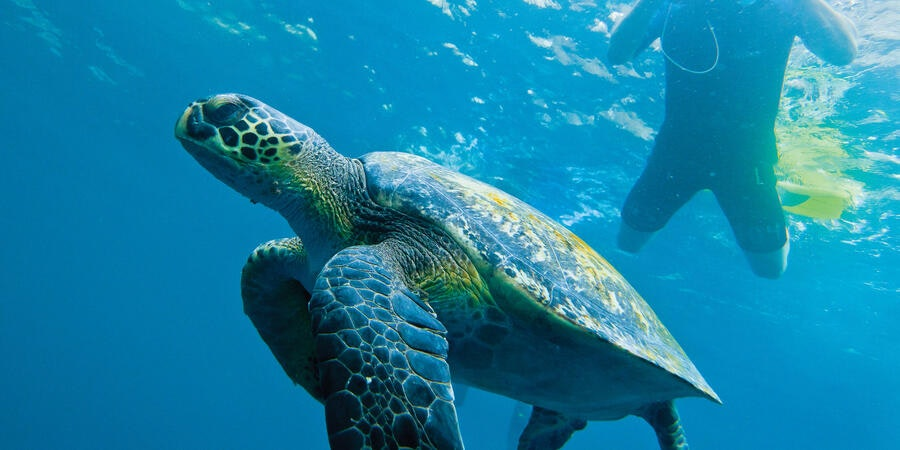Galapagos Green Turtle (Photo: Lindblad Expeditions)