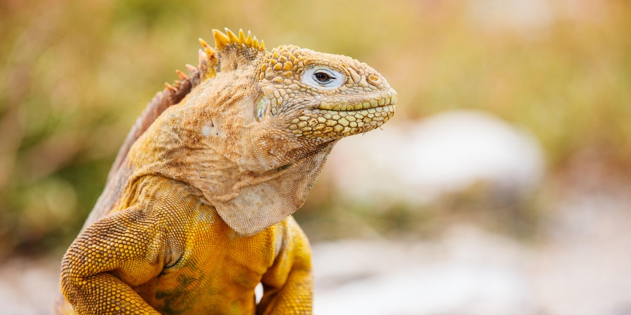 Galapagos Land Iguana (Photo: BlueOrange Studio/Shutterstock.com)