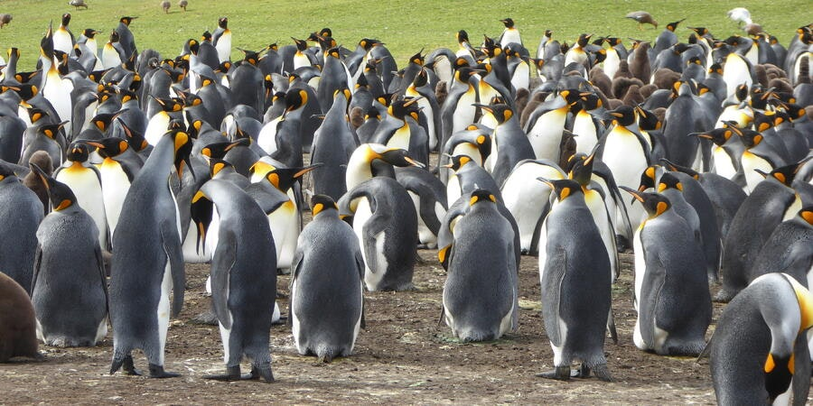 Penguins on the Falkland Islands (Photo: snoopy647/Cruise Critic member)