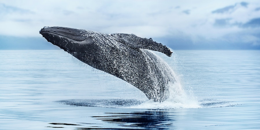 Breaching Whale in Alaska (Photo: Princess Cruises)