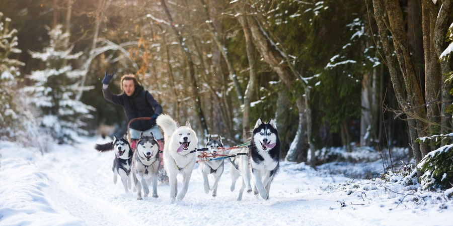 Norway Cruises Husky Sledding
