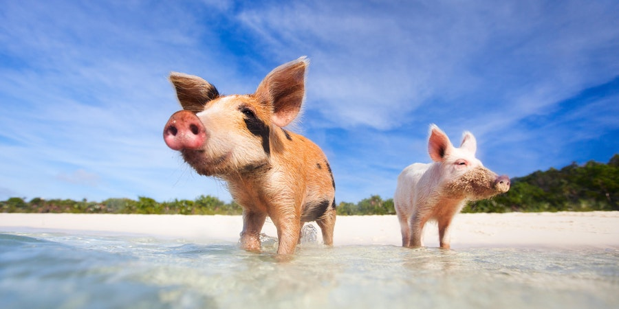 Swimming Pigs Excursion on a Bahamas Cruise
